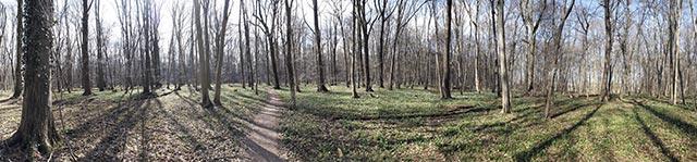 Panoramafoto der blühenden Märzenbecher im Wald bei Großschwabhausen