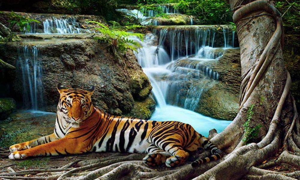 Tiger im Dschungel